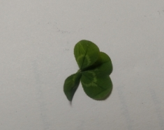 The four-leaf clover that I found, but lost by night's end.